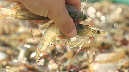 krewetki : Fresh White-leg shrimp form shrimp farming in pond