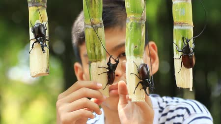 stag beetle : boy take care his fighting rhinoceros beetles