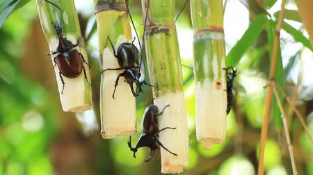 stag beetle : rhinoceros beetles on the fresh sugarcane pole Stock Footage
