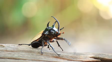 нападение : yellow five horned beetle flying up