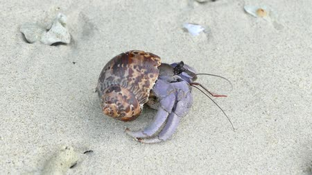 crab of the woods : Hermit Crab Paguroidea hides in its shell for protection then emerges