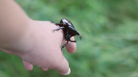 stag beetle : Rhinoceros beetle, Rhino beetle,Fighting beetle ,pet-beetles