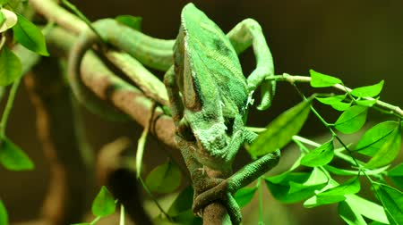 yemen : green chameleon lizard on the tree