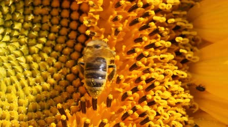 graine tournesol : Abeille au travail, le point de vue macro tournesol