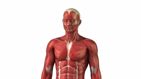 fisiculturismo : Head muscular system  anatomy zoom
