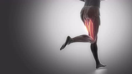 stehno : biceps femoris - leg muscles anatomy anaimation