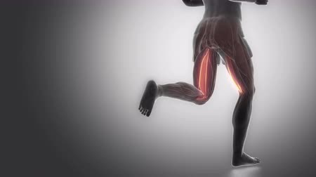 uyluk : semitendinosus - leg muscles anatomy anaimation Stok Video
