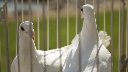 gołąbki : Close up view of cage with white doves located outside