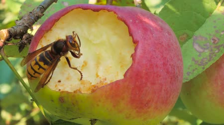 yabanarısı : Wasp eating an apple Stok Video