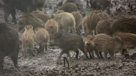 Family of wild pigs feeding in the rain 影像素材