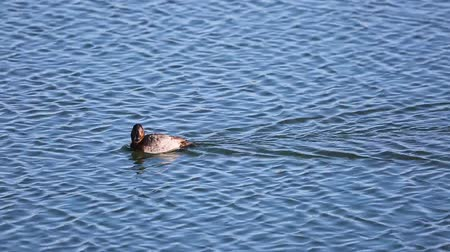 Golden eye duck (bucephala clangula) swimming on a river 影像素材