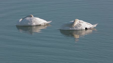 Two swans sleeping, drifting on a river in the winter 影像素材