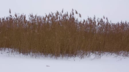 Reed bending under cold wind in a winter day 影像素材