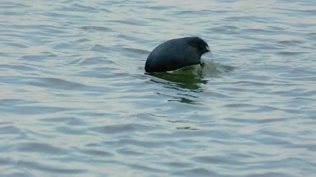 Eurasian coot (fulica atra) on the river 影像素材