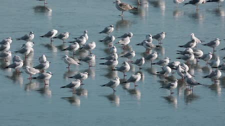 Variety of water birds, mostly gulls on a frozen river 影像素材
