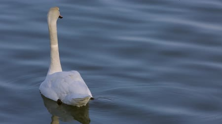 A swan swimming on the river
