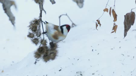 Goldfinch bird (carduelis carduelis) feeding on thistle seeds