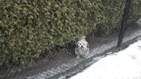 бдительный : The dog barks at the passer-by while behind the mesh fence. The pet protects the territory of residence of the family. The life of our smaller brothers. Poor pet handling. Vigilant watchman at the lines