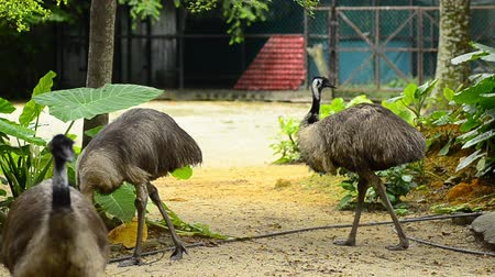 pštros : Emu in the zoo, Emu (Dromaius novaehollandiae) is the second-largest living bird Dostupné videozáznamy