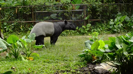 копытное : A pair of Malayan Tapir in the zoo Стоковые видеозаписи