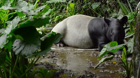 ungulado : A pair of Malayan Tapir in the zoo Vídeos