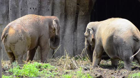 копыто : A pair of african elephant feeding in the zoo Стоковые видеозаписи