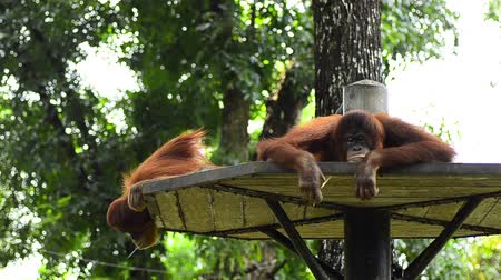 primitív : orang utan (pongo pygmaeus) at the zoo. it natural habitat only can be found at the island of Borneo and Sumatra