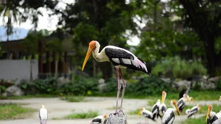 bocian : Big Painted Stork Bird(Mycteria leucocephala) standing on the rock over green leaves background at zoo Wideo