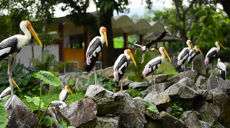 painted stork : Big Painted Stork Bird(Mycteria leucocephala) standing on the rock over green leaves background at zoo Stock Footage