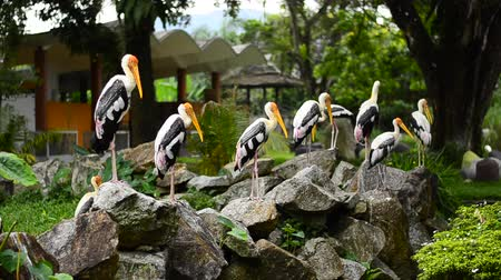 cigueña : Big Painted Stork Bird(Mycteria leucocephala) standing on the rock over green leaves background at zoo Archivo de Video
