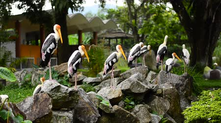 ooievaar : Big Painted Stork Bird(Mycteria leucocephala) standing on the rock over green leaves background at zoo Stockvideo