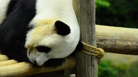 nadir : giant panda in the zoo sleeping on wooden benches Stok Video