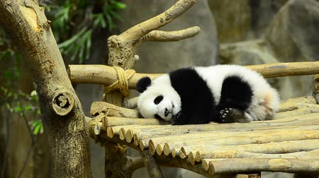dev : giant panda in the zoo sleeping on wooden benches Stok Video