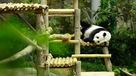 endangered species : giant panda in the zoo sleeping on wooden benches Stock Footage