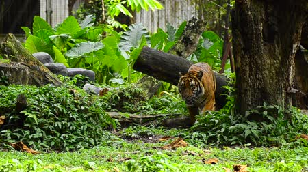 endangered species : Malayan tiger (Panthera tigris jacksoni) in the zoo