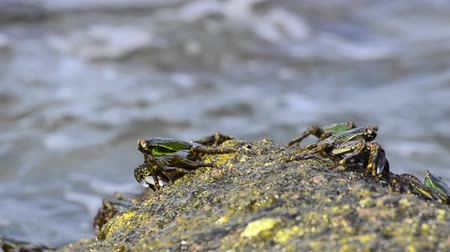 korýš : group of lightfoot crabs peer over the edge of a rock�