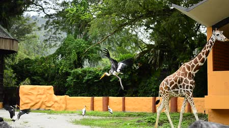 ooievaar : Giraffe and painted stork bird fly free in open air zoo cage Stockvideo