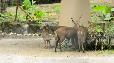 ungulado : Herd of deer feeding green grass in the zoo