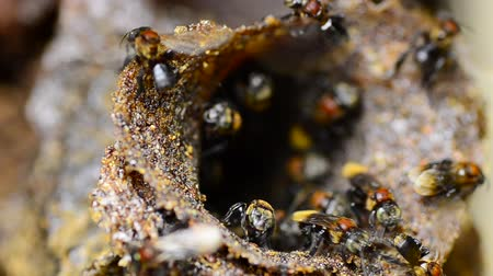 worker bees : close-up trigona meliponini bee at their hive entrance Stock Footage
