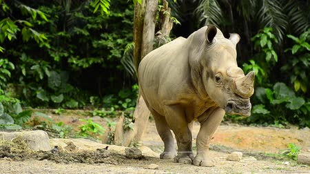 копыто : wild Rhinoceros in the zoo Стоковые видеозаписи