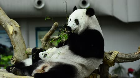 endangered species : Feeding time, giant panda eating green bamboo leaves Stock Footage
