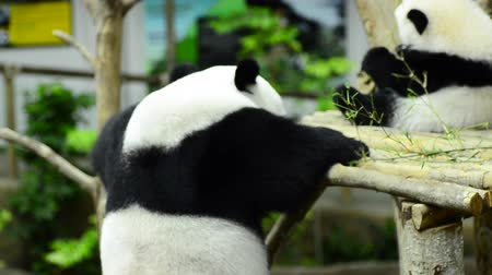 パンダ : Feeding time, giant panda eating green bamboo leaves 動画素材