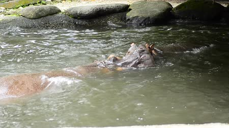 hipopotam : A Pair of Hippopotamus playing sparring in the pond