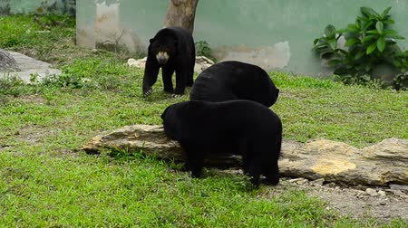 borneo : Sun Bear (Helarctos malayanus) in the zoo. Sun Bear species can be found in tropical forest, Southeast Asia Stock Footage