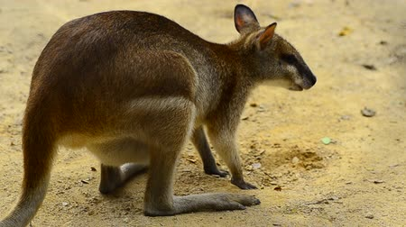 wallaby : Agile Wallaby kanggaroo (Macropus Agilis) also known as the Sandy Wallaby can be found in Northern Australia and New Guinea