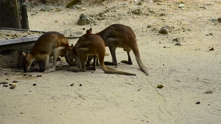 wallaby : Agile Wallaby kanggaroo(Macropus Agilis) also known as the Sandy Wallaby can be found in Northern Australia and New Guinea