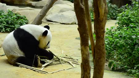 nadir : lovely giant panda in the zoo eating bamboo