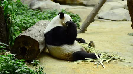 panda : lovely giant panda in the zoo eating bamboo