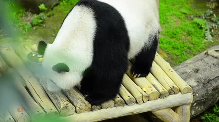 nadir : lovely giant panda in the sitting on the bench
