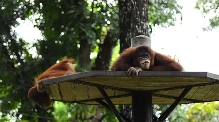 primeval : orang utan (pongo pygmaeus) at the zoo. it natural habitat only can be found at the island of Borneo and Sumatra
